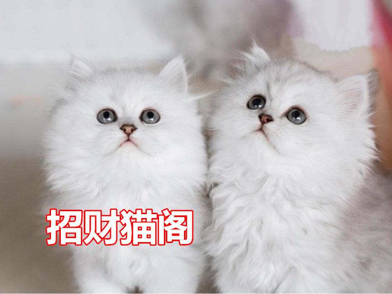 珠海哪里有卖金吉拉猫 珠海金吉拉猫一只多少钱