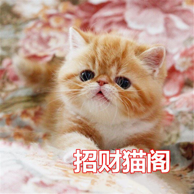 广州哪里有卖异国短毛猫广州哪里有卖纯种加菲猫