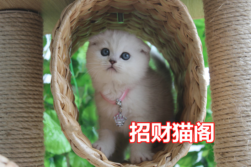 深圳哪里有卖苏格兰折耳猫深圳哪里有卖纯种折耳猫