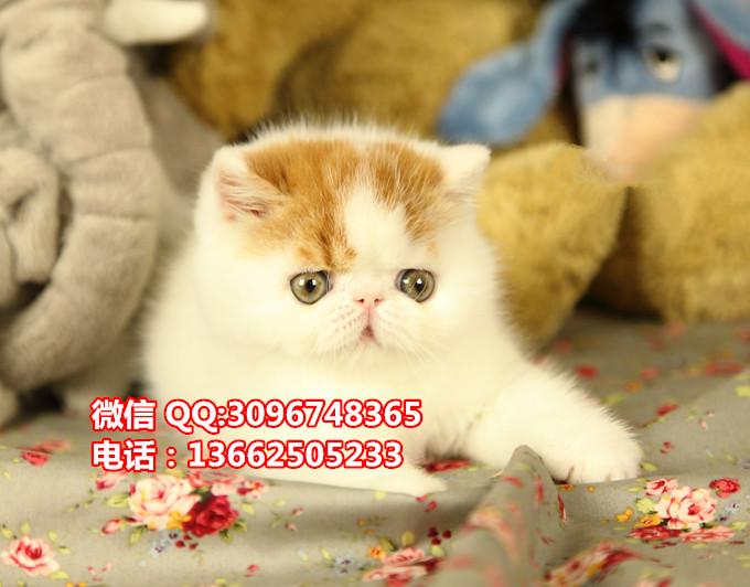深圳哪里有卖异国短毛猫深圳哪里有卖纯种加菲猫