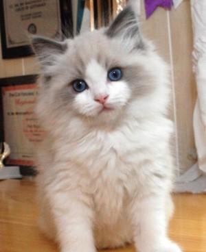 大发快三精确计划和值规律出售纯种布偶猫!