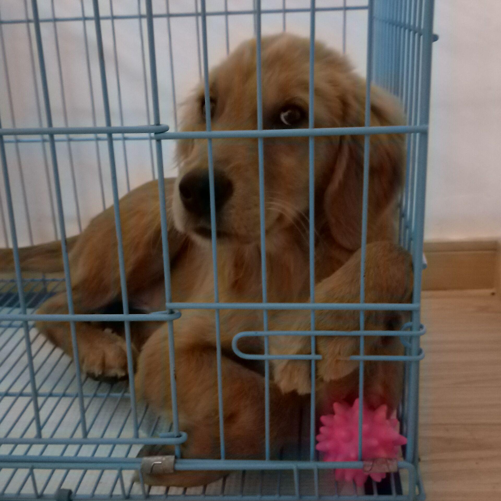 4个月金毛幼犬(公)纯种2