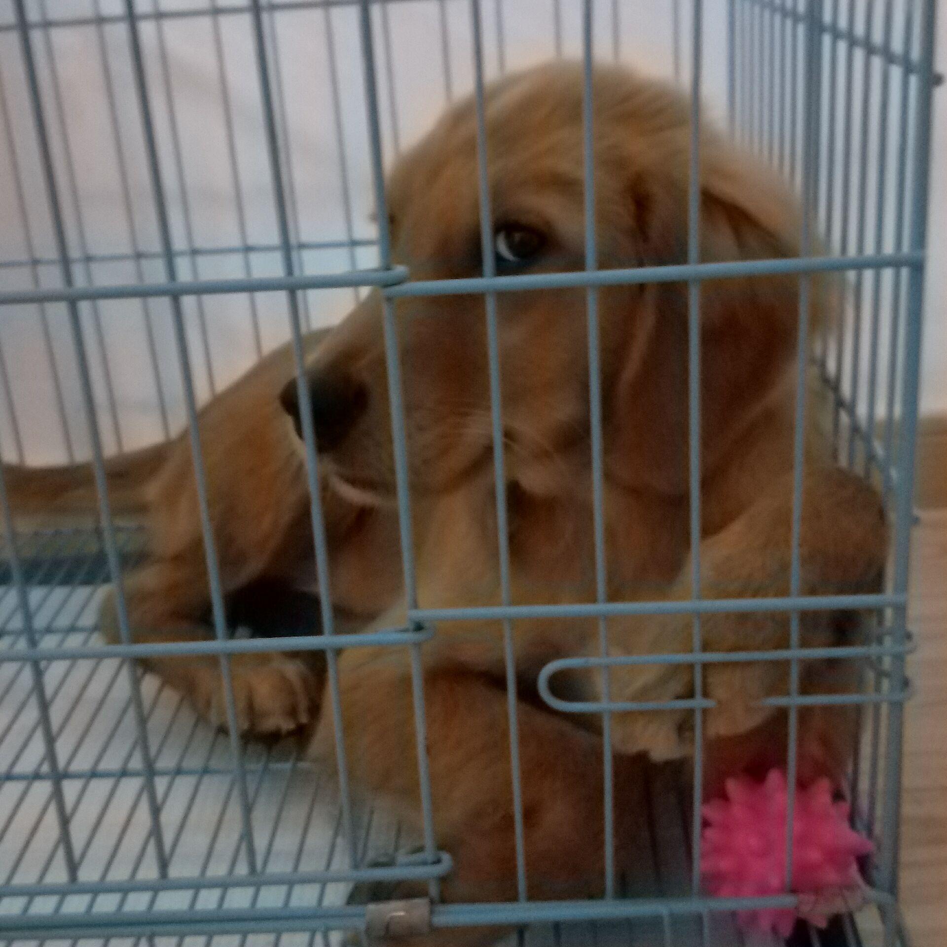 4个月金毛幼犬(公)纯种3