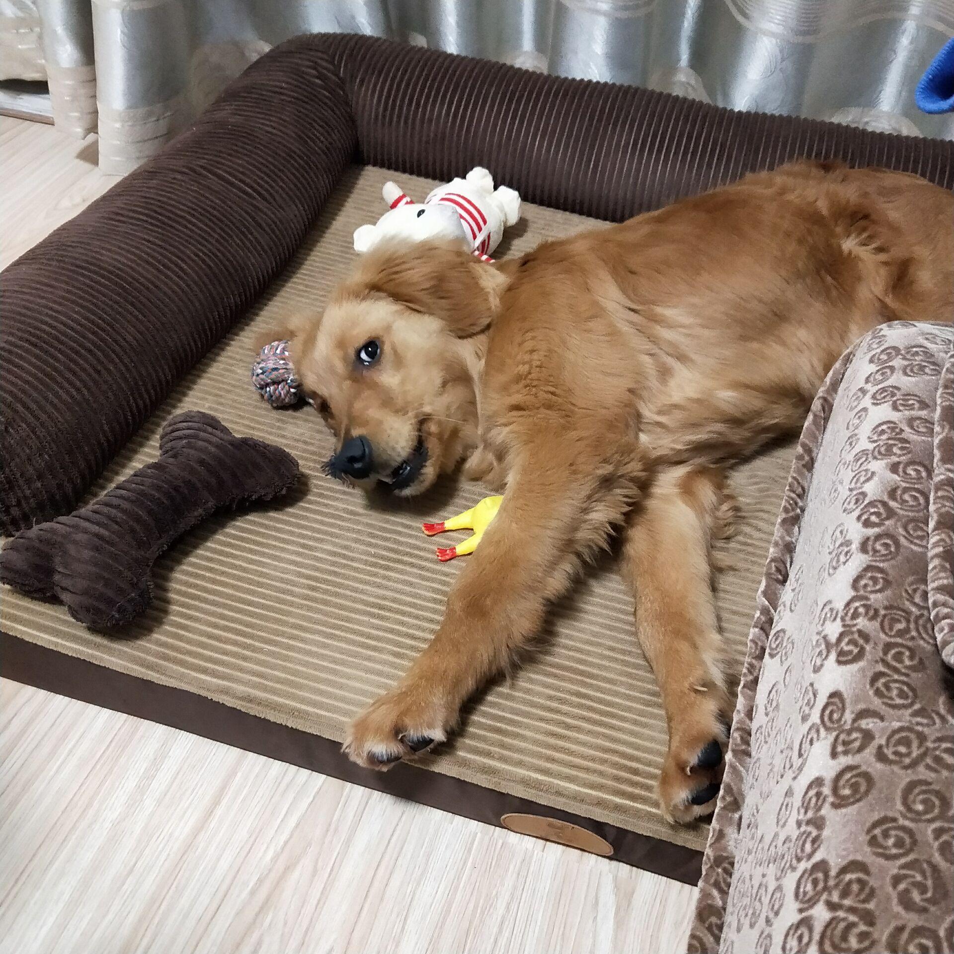4个月金毛幼犬(公)纯种4