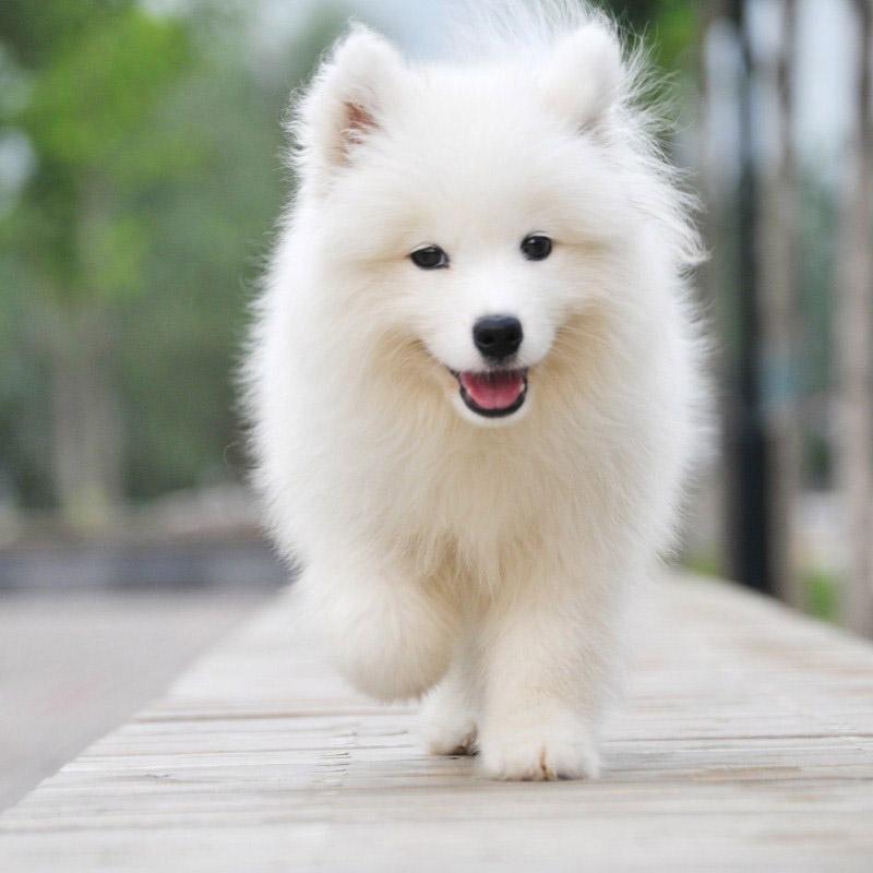 添宠国际微笑天使萨摩萨摩耶~冬天里白皙宠物 绅士般气质洋溢