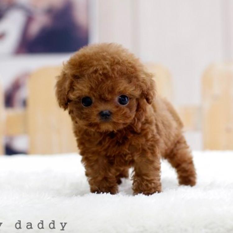添宠国际名犬可爱韩系泰迪犬特价出售中 纯家养保证品质和健康