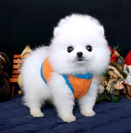 淮安自家狗场出售纯种哈多利版博美犬 颜色多样品相好