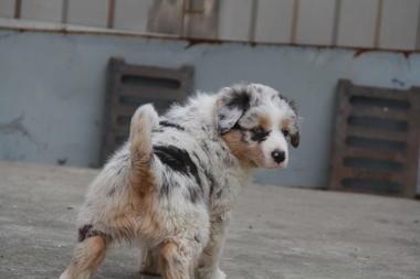 上海家养不断尾澳大利亚牧羊犬3