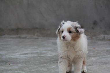 上海家养不断尾澳大利亚牧羊犬4