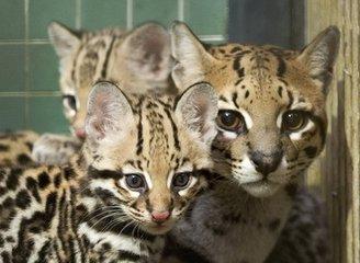 深圳哪里有卖豹猫多少钱 豹猫哪里有卖的 豹猫价格