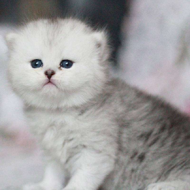 江门哪里有金吉拉猫 纯种金吉拉多少钱 金吉拉掉毛吗