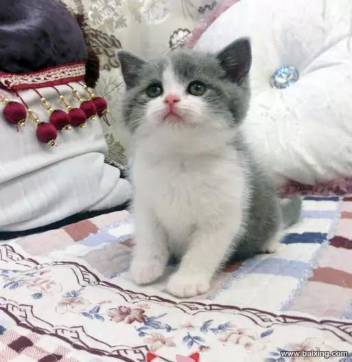广州纯种英短蓝白猫价格广州哪里有卖蓝白猫呢