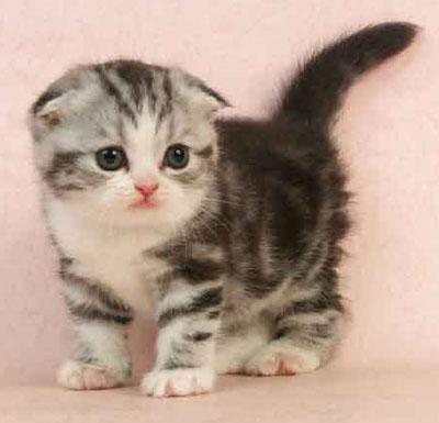 折耳猫幼崽价格深圳哪里有卖苏格兰折耳猫?价钱一般多少