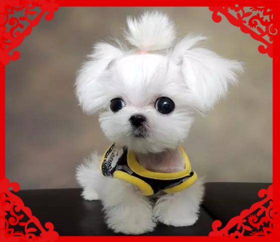 双血赛级马尔济斯犬幼犬 可上门挑选 包纯种 健康
