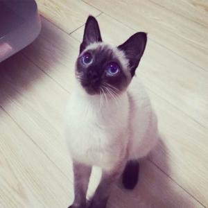 正规CFA猫舍 纯种暹罗猫 育苗齐全 包活签协议 送货上门