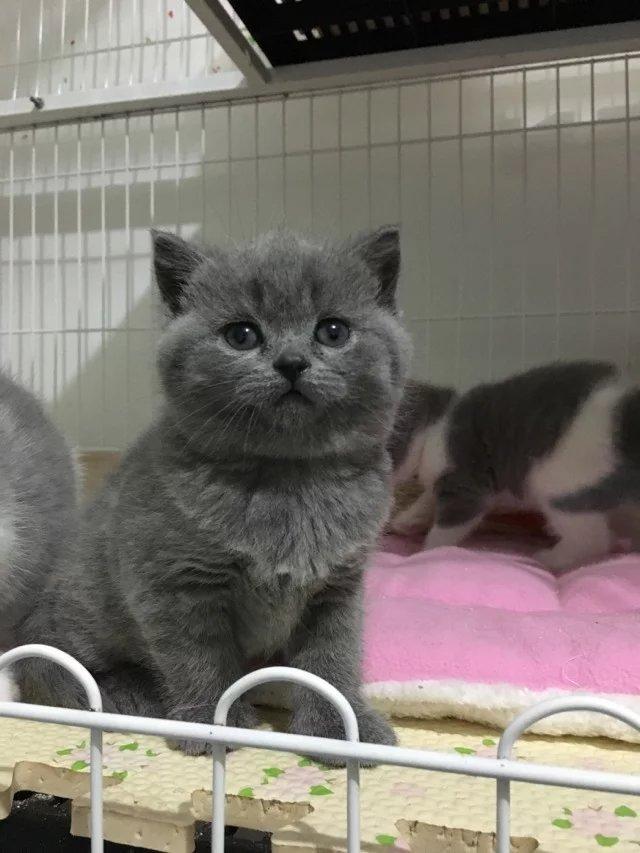 正规CFA猫舍 纯种蓝猫 育苗齐全 包活签协议 送货上门