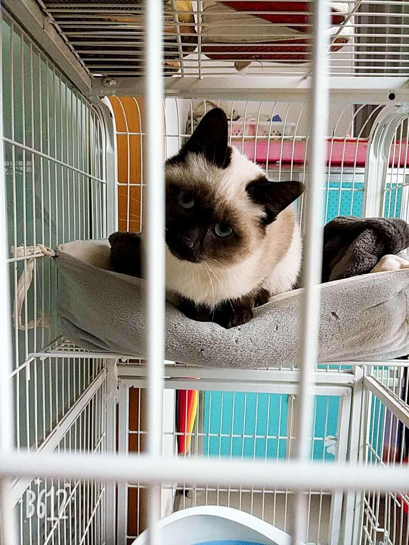 出售纯正家养暹罗幼猫一只