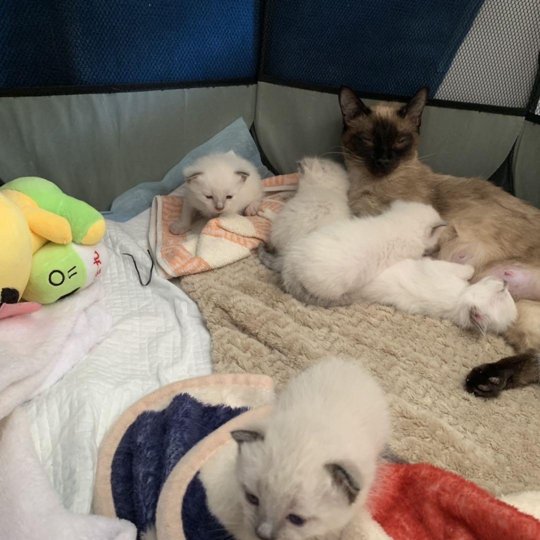 自家养的暹罗猫咪,可以上门看猫