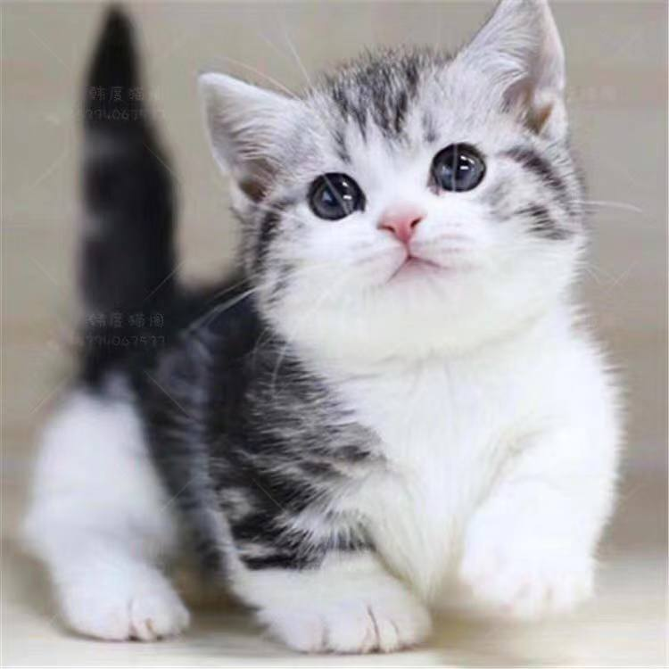 正规CFA猫舍 纯种豹猫 货到付款包活签协议 可送货上门