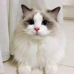 正规CFA猫舍 纯种布偶猫包活签协议送货上门 货到付款