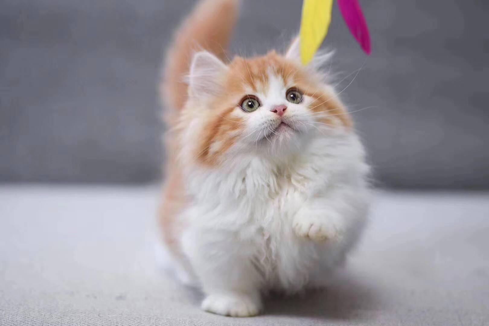 正规CFA猫舍 纯种加菲猫 货到付款包活签协议 送货上门