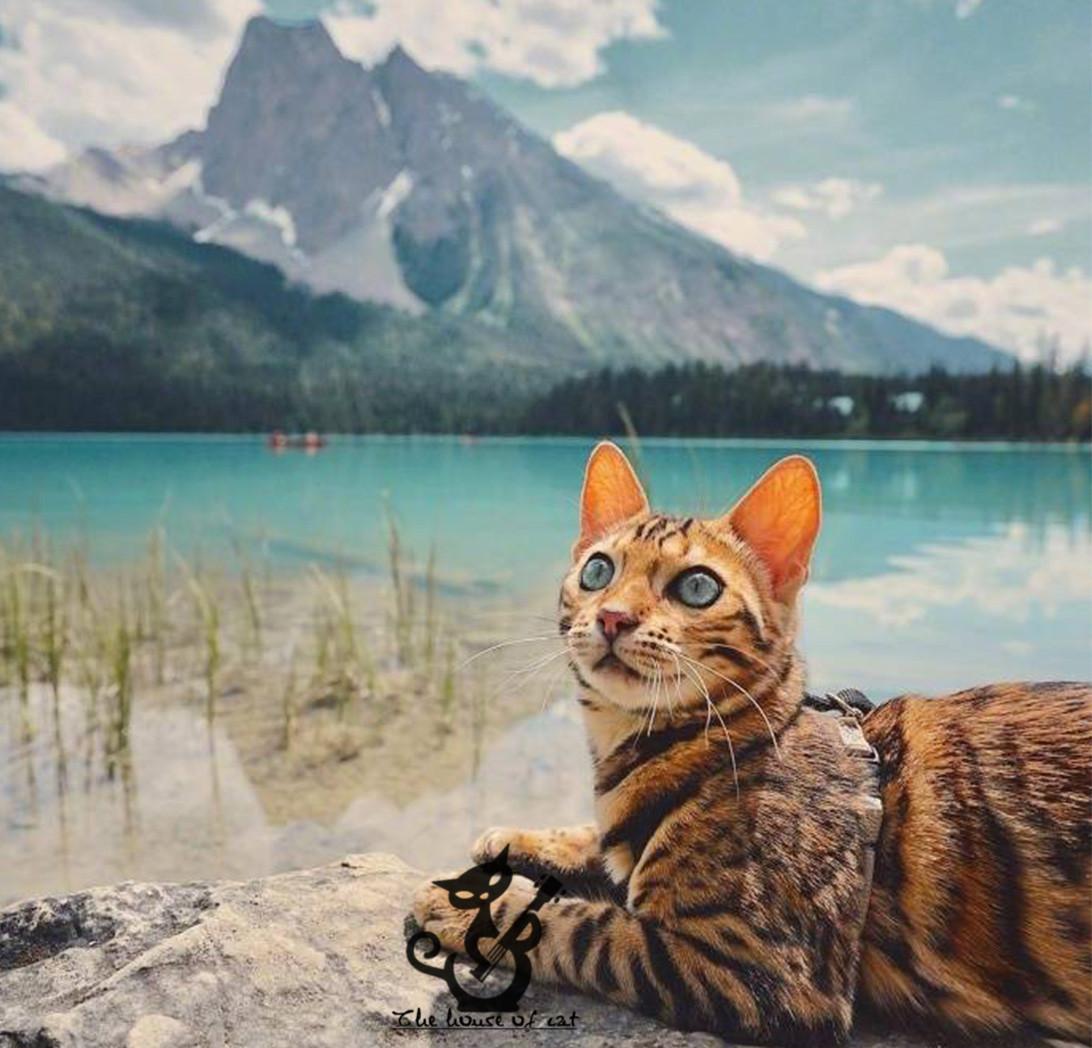 正规CFA猫舍 纯种豹猫 货到付款包活签协议 可送货上门3