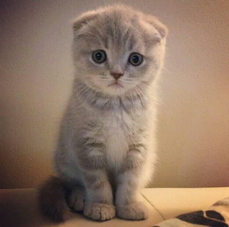 正规CFA猫舍 纯种折耳猫 货到付款包活签协议 送货上门2