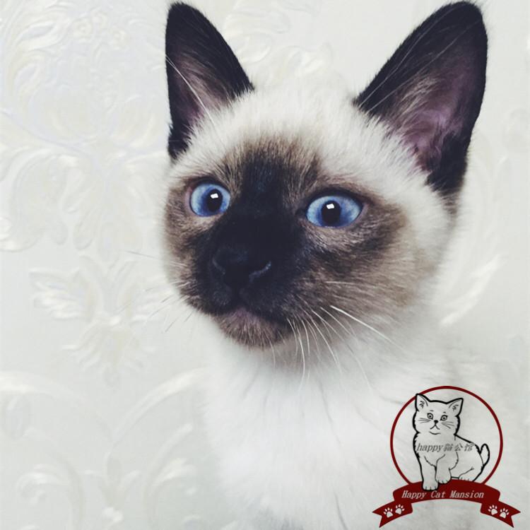 正规CFA猫舍 纯种暹罗猫货到付款包活签协议 可送货上门