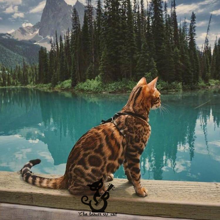 正规CFA猫舍 纯种豹猫 货到付款包活签协议 可送货上门4