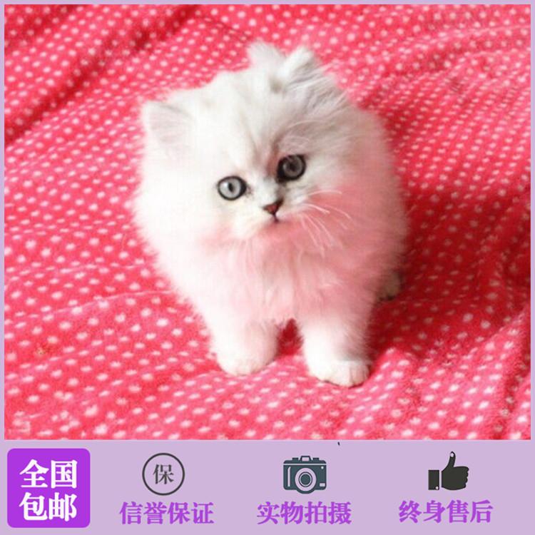 正规CFA猫舍 纯种金吉拉货到付款包活签协议 可送货上门