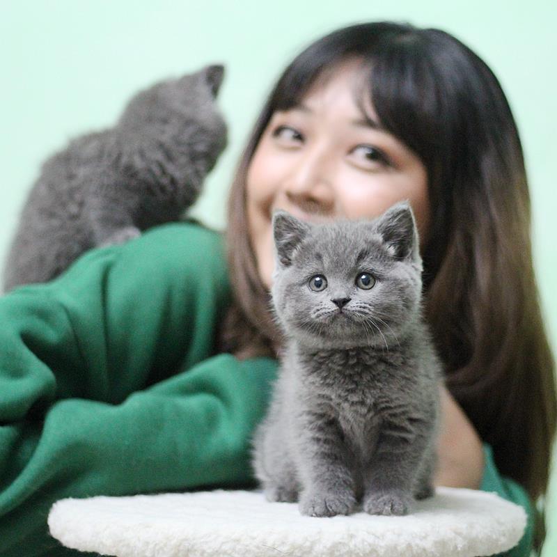 正规CFA猫舍 纯种英短猫货到付款 包活签协议 送货上门