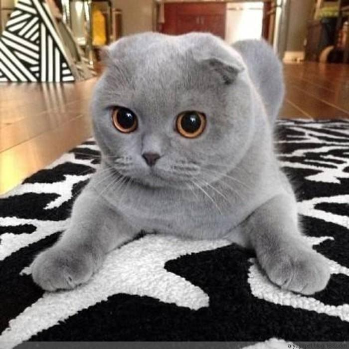 正规CFA猫舍 纯种折耳猫 货到付款包活签协议 送货上门3