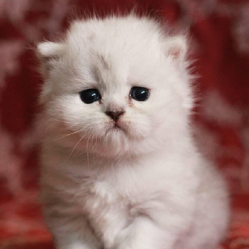 金吉拉猫一只多少钱?广州哪里卖纯种金吉拉?广州猫舍