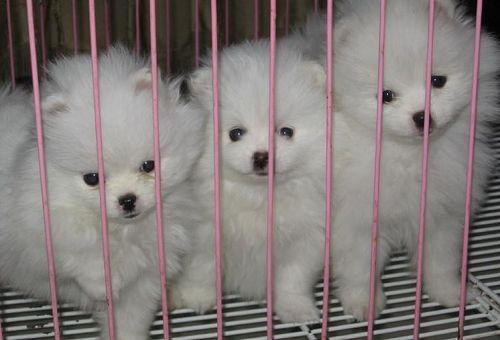 云南昆明什么地方有博美幼犬卖 云南博美幼犬价格2