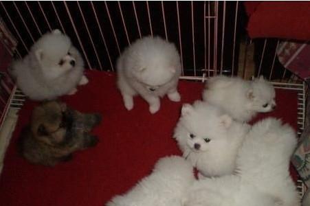 云南昆明什么地方有博美幼犬卖 云南博美幼犬价格1