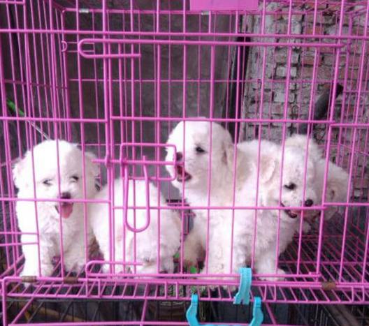 云南买狗 昆明本地比熊在什么地方 狗场比熊价格1