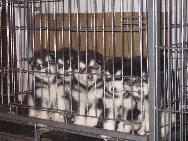 云南本地阿拉斯加多少钱一只专业狗场直销2
