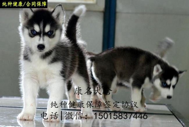 繁殖狗场出售纯种哈士奇犬、哈士奇多少钱一只2