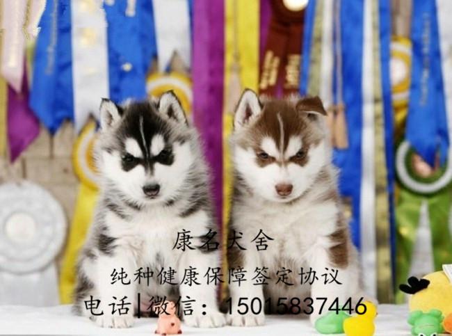 繁殖狗场出售纯种哈士奇犬、哈士奇多少钱一只4
