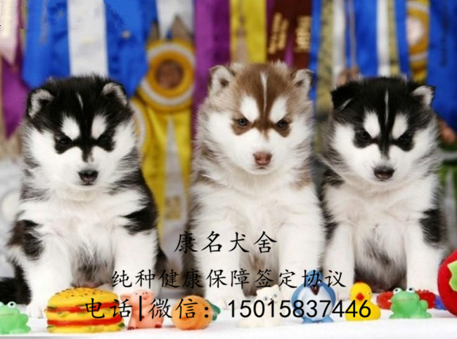 繁殖狗场出售纯种哈士奇犬、哈士奇多少钱一只3