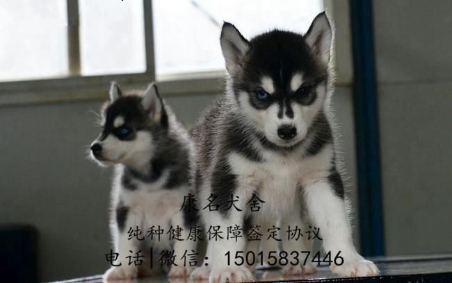 繁殖狗场出售纯种哈士奇犬、哈士奇多少钱一只1