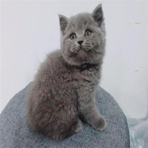 精品包子脸英短蓝猫 纯种蓝猫公母都有