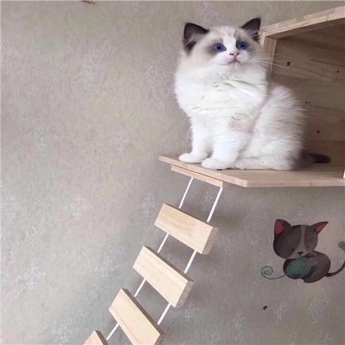 纯种布偶猫 蓝双布偶 海双布偶 重点色布偶 山猫布偶