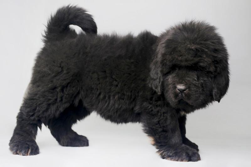 精品藏獒幼犬公母都有 全国发货 售后无忧3