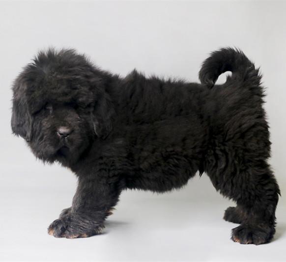 精品藏獒幼犬公母都有 全国发货 售后无忧4