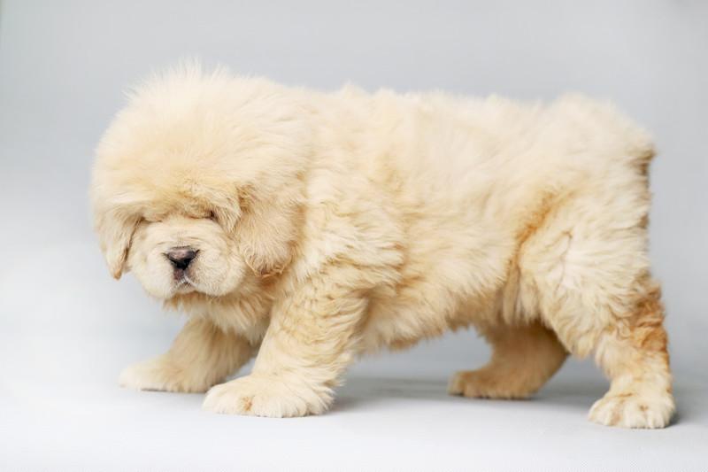 精品幼犬公母都有 全国发货 纯血保证 售后无忧4
