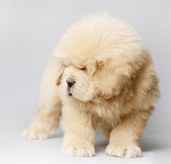 精品幼犬公母都有 全国发货 纯血保证 售后无忧3