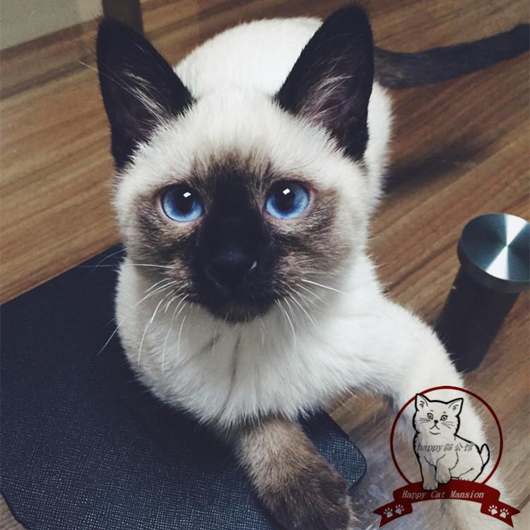 正规CFA猫舍 纯种暹罗猫 育苗齐全包活签协议 送货上门