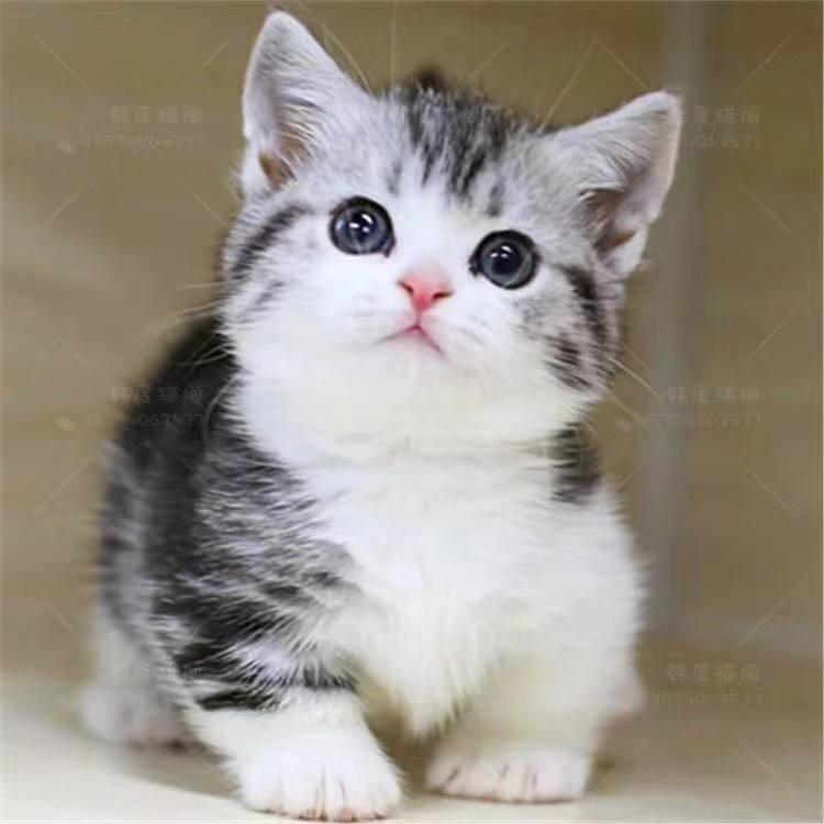 正规CFA猫舍 纯种矮脚猫 育苗齐全包活签协议 送货上门