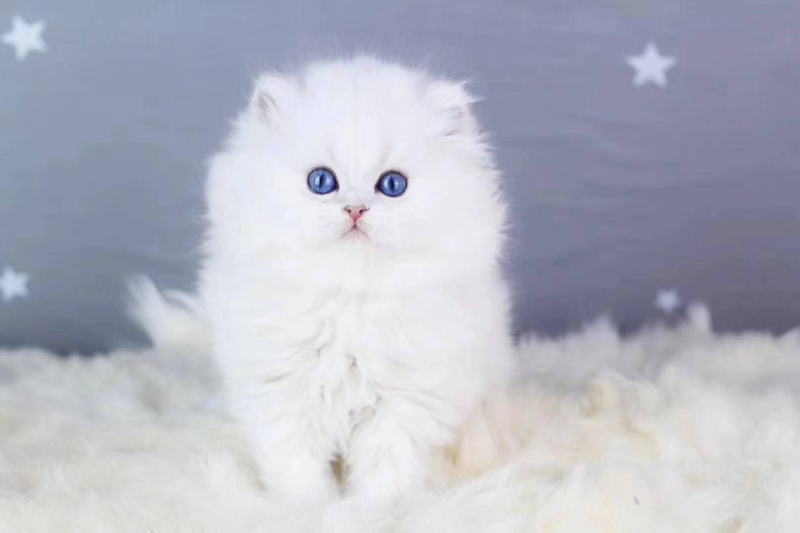 正规CFA猫舍 纯种渐层 育苗齐全包活签协议 送货上门